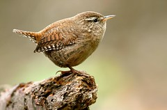 Little wren (davy ren2) Tags: wren d500 nikon wildlife photograthy nature