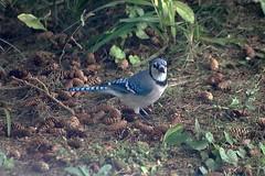 Blue Jay Near Spruce Cones 007 - Cyanocitta Cristata (Chrisser) Tags: birds bird jays jay bluejays bluejay cyanocittacristata nature ontario canada canoneosrebelt6i canonef75300mmf456iiiusmlens corvidae