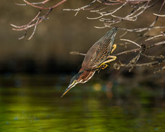 Green Heron - Callalisa Creek (mark bochiardy images) Tags: greenheron kayak callalisacreek newsmyrnabeach florida markbochiardy