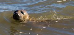 Grey Seal (BushmanW12) Tags: seal pups horsey norfolk wildlife nature beach