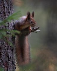 Forest dweller (laurilehtophotography) Tags: squirrel orava nature bokeh wildlife wildlifephotography tree forest animal creature autumn fall syksy metsä nikon d750 nikkor 200500mm telephoto amazing europe outdoor suomi finland jyskä jyväskylä