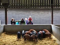 Feeding Time (Simon Ross Photos) Tags: wimpolehomefarm wimpolehall cambridgeshire pigs iphone5 2018