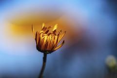 Flower Power im Herbst (blichb) Tags: 2018 bayern blume blüte chiemgau deutschland herbst oberbayern rosenheimerland sonya7rii stephanskirchen blichb garten meingarten