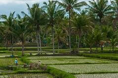 Arrossars Bali (faltimiras) Tags: indonesia kalimantan borneo flores komodo orangutan monkey kutai maratua derawan beach platja paradise sunset sunrise pulau padar