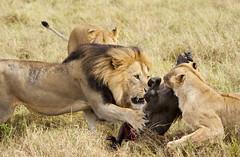 Savage hunters (paolo_barbarini) Tags: lions kenya masai mara hunt felines cats warthog nature wildlife animals africa