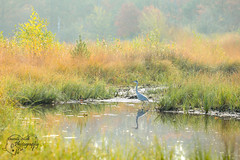 Heron in the water (Amanda Blom Photography) Tags: water reflectie reflection reiger blauwe blauwereiger vogel bird canon canonphoto nature natuur naturelover greennature naturephotographer naturepicture naturephoto natuurfoto naturephotography natureptohography naturelove groen animal animalphotography