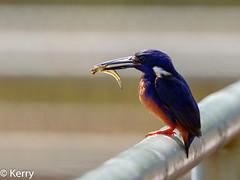 Azure Kingfisher, eating Fish. (Kazredracer) Tags: 2018 kingfisherazure kakadunp nt australia ruficollaris eating fish yellowwater birds ceyxazureus