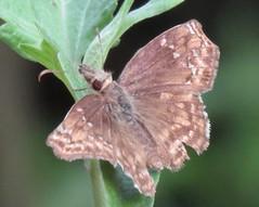 Anisochoria minorella (Birdernaturalist) Tags: bolivia butterfly hesperiidae lepidoptera pyrginae pyrgini richhoyer skipper