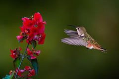 Appealing (Patricia Ware) Tags: 500mmf4lisusm allenshummingbird backyard birdsinflight california canon fullframe manhattanbeach multipleflash selasphorussasin tripod ©2018patriciawareallrightsreserved specanimal sunrays5