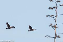 Hawaiian Goose (Nene), Kawaiele Waterbird Sanctuary, Kauai, Hawaii, US (Manuel ROMARIS) Tags: usa kawaielewaterbirdsanctuary hawaii waimea kauai kekaha unitedstates us