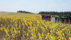 18092018-DSC_0007 (vidjanma) Tags: champ tournesols cabane vaches