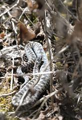 Autumn Adder (Vipera berus) (willjatkins) Tags: wildlife nature animal snakes snake snakesofeurope europeanwildlife europeanreptiles europeansnakes adder adders viperaberus viper vipera britishwildlife britishamphibiansandreptiles britishreptilesandamphibians britishreptiles britishsnakes ukwildlife ukreptilesandamphibians ukamphibiansandreptiles ukreptiles uksnakes autumnwildlife autumn londonwildlife londonreptiles londonsnakes closeupwildlife closeup macro macrowildlife nikond610 nikon sigma105mm