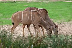 Twins (MiChaH) Tags: rotterdam blijdorp dierentuin diergaarde zoo dieren twins tweeling 2018 grazen