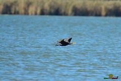 A-LUR_7725 (OrNeSsInA) Tags: aironi airon spatola trasimeno laghi umbria tecana tuscany italy italia natura nature