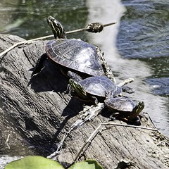 Size Matters (chauvin.bill) Tags: tamron paintedturtles happyturtletuesday strickerspond