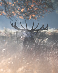 Nature of the Beast (alex saberi) Tags: richmondpark stags nationalgeographic richmond mist rutting battle
