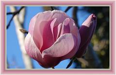 Travelers repose and dream among my leaves. (William Blake) (boeckli (On Vacation)) Tags: flower flowers blume blumen bloom blooms plants blossoms pflanzen pink rosa photoborder rahmen outdoor garden garten williamblake dream rx100m6 001641 flora fleur magnolia magnolie doublefantasy