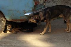 P8298023 (Бесплатный фотобанк) Tags: россия камчатка камчатскийкрай дворняжка дворняжки бездомныйпес бездомныесобаки бездомныепсы бездомнаясобака собака пес