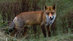 Red fox (moniquedoon) Tags: fox foxes autumn