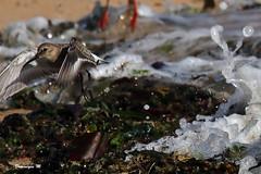 becasseau variable 64 (dmes55) Tags: dune oiseau bretagne bécasseau plage océan