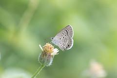 Echinargus isola (fabriciodo2) Tags: echinargusisola papillon mariposa butterfly macro nature chichenitza mexique