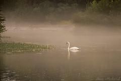 Swan on the Ramapo River_4481 (smack53) Tags: smack53 swan bird ramaporiver oakland newjersey fog foggy misty mist allgodscreatures water reflections autumn autumnseason fall fallseason scenic scenery outside outdoors nikon d100 nikond100