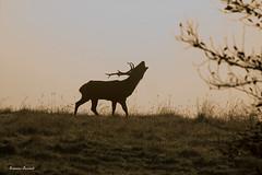 Scattata in Cansiglio (francesco.bernardi759) Tags: ngc luce cervi animali fauna canon foresta