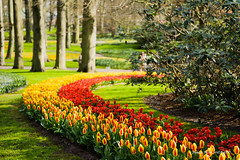 Arc-en-ciel (patoche21) Tags: couleur europe fleur fleuri flore nature paysbas paysage plante courbe forme jardin ligne tulipe vive patrickbouchenard netherlands keukenhof garden flower tulip color
