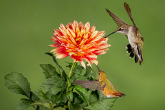 Rufous and Black-chinned Hummingbirds (Eric Gofreed) Tags: arizona blackchinnedhummingbird hummingbird multiflashphotography mybackyard rufoushummingbirds sedona is an it unbe