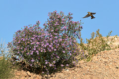 Audubon's Warbler (2917) (Bob Walker (NM)) Tags: bird flying yrwa auwa yellowrumpedwarbler audubonswarbler setophagacoronata setophagacoronataauduboni warbler asterbush losalamos newmexico usa