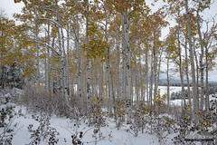 Aspen Grove Snow (kevin-palmer) Tags: bighornmountains bighornnationalforest wyoming circlepark september fall autumn snow snowy fresh snowfall cold white cloudy nikond750 morning tamron2470mmf28 trees foliage aspen