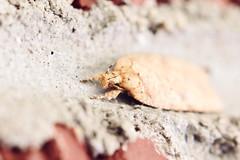 Tiny Moth on Brick (Heather Bean VT) Tags: tiny moth orangemoth brick macro macroinsect macrophotography