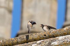 Charlecote park-1503C-2 (Mibby23) Tags: swallow hirundo rustica bird wildlife nature feeding juvenile charlecote park canon 5dmk4 sigma 150600mm contemporary