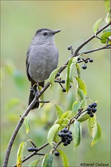 Gray Catbird (Daniel Cadieux) Tags: catbird graycatbird berries vertical fall autumn ottawa