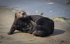 You Asked Me To Pose. How Is This? (Don Dunning) Tags: animals california californiaseaotter canon7dmarkii canonef100400mmf4556lisiiusm enhydralutris mammals mosslanding mosslandingstatebeach otter southernseaotter unitedstates