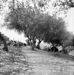 000020640019-1 (tommaso.piccoli) Tags: 2018 agrigento bencini koroll valleditempli ulivi alberi analogicait