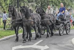 Wemmel, Jaarmarkt 2018 (foto_morgana) Tags: belgië belgique belgium cheval chevaldetrait domestic farmanimal horse horsetack jaarmarkt2018 mammals mammifères marchéannuel2018 on1photoraw2019 outdoor paard wemmel zoogdieren vierspan carriage paardenkoets