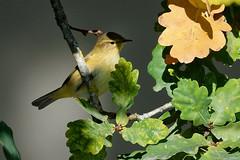 Pouillot véloce 2 (Elisabeth Lys) Tags: pouillot pouillotvéloce contemporary sigma 150600mm d7200 bird oiseau yellow