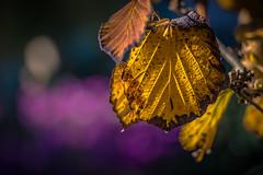 Witch Hazel in autumnal colors (Of Light & Lenses) Tags: bokeh witchhazel zaubernuss yellow gelb autumnalcolors autum garten naturfoto leaves hasselblad x1d zeiss40180mmsonnar carlzeissvseries otono