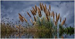 Autumn (kurtwolf303) Tags: grass gras water wasser natur nature kurtwolf303 reflection spiegelung omd mft olympusem1 pflanzen plants microfourthirds sky himmel clouds wolken autumn herbst