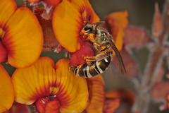 Lipotriches IMG_5028AA (Kool bee) Tags: wa dryandrawoodlands daviesia fabaceae lipotrichesfemale
