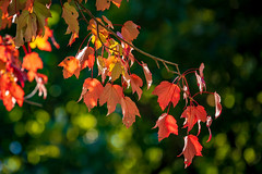 Fall is Slowly Establishing Itself... (John Brighenti) Tags: maryland rockville twinbrook autumn fall leaves orange red yellow green bokeh sticks branches bark maple colors sunlight sunshine outdoors outside nature photography sony alpha a7rii ilce7rm2 sel70300g