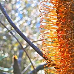 Banksia Bokeh (adamsgc1) Tags: lamingtonplateau nationalpark banksiaflower banksia davescreek queensland bokeh