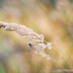 Grass Spike in the wind thumbnail