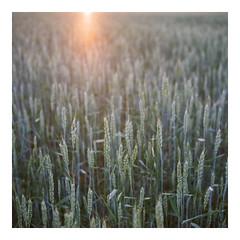 Fields of June - Fuji Reala 100 (magnus.joensson) Tags: sweden skåne summer june field rolleiflex carl zeiss tessar 75mm 81a filter fuji reala 100 expired c41 6x6