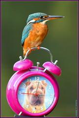 """Martin pêcheur d'Europe femelle ( Alcedo atthis ) Distance Focus : 5.01 m """" image prise depuis la tente affût """"  *** sans Photoshop , sans Lightroom et sans aucun Groupe en partage *** (Norbert . L . PHOTO) Tags: martinpêcheurdeurope alcedoatthis oiseaupêcheur perchoirinsolite réveil nikon d500 nikkor200500mmf56"""