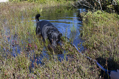 Water Hole (brucetopher) Tags: dune beach dunes sand hike outdoor hiking travel outside duneshack trail nature provincetown seashore shore coast coastline grass flora sky landscape new england bog wetland swamp pond water watery oasis waterhole watering dog roxy