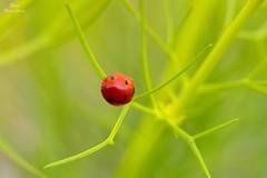 Coccinella (Peideluo) Tags: nature insect colors mariquita coccinella minimalist minimalismo bokeh hierba insecto macrofotografía