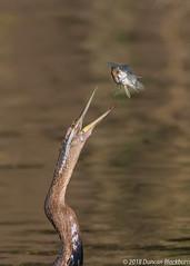 You shouldn't play with your food! (Duncan Blackburn) Tags: 2018 southafrica bird wildlife nikon nature lakepanic kruger darter ngc npc