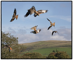 Red Kites (CliveDodd) Tags: red kite brecon beacons